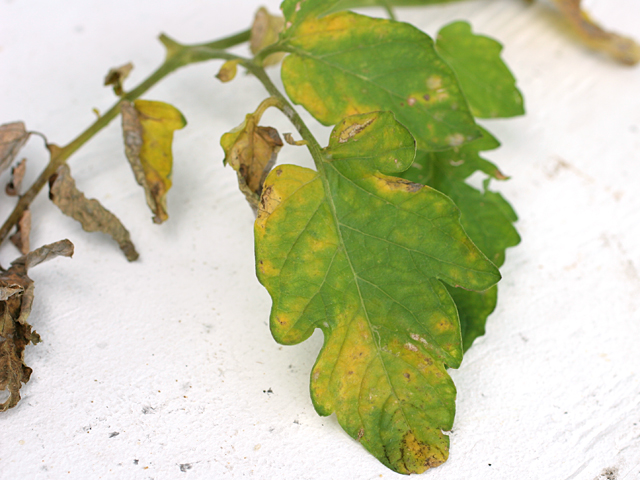 Cherry-Tomato-Leaves2
