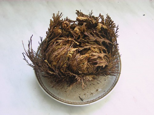 Rose of Jericho just watered