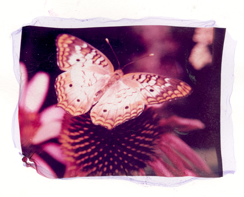 untitled emulsion lift image of butterfly (c) 2004, Lynne Medsker