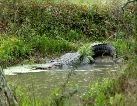 DSC_0416ABCD-Alligator-3
