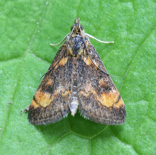 5058 - Pyrausta orphisalis - Orange Mint Moth (2)