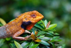 Chameleon Basking in Sun by grinleaf