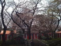 Blossoms, Ueno Zoo