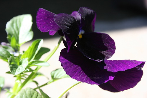 Pollen Dusted Pansy