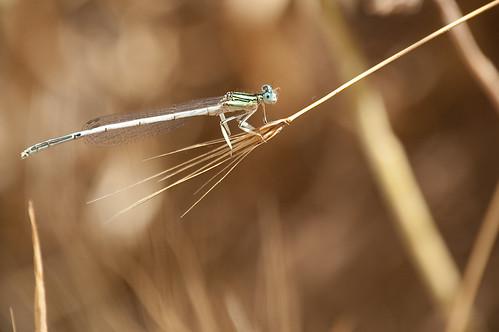 El balancín de la libélula