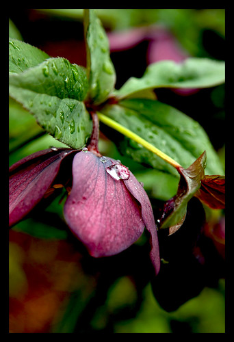 Beautiful Hellebore after the rain