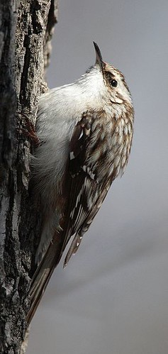 Brown Creeper (by StarbuckGuy)