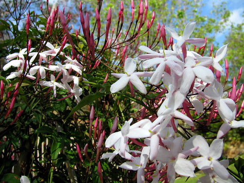 Lots-of-Pink-Jasmine