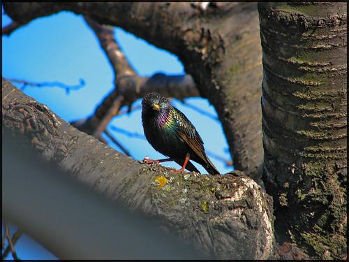 Grackle Bird?