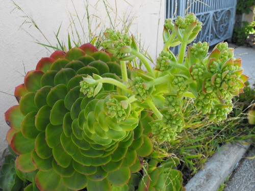 Horny Succulents on 420 24