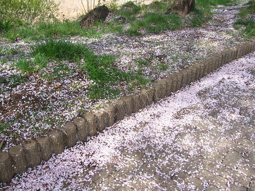 Petali di fiori di ciliegio caduti