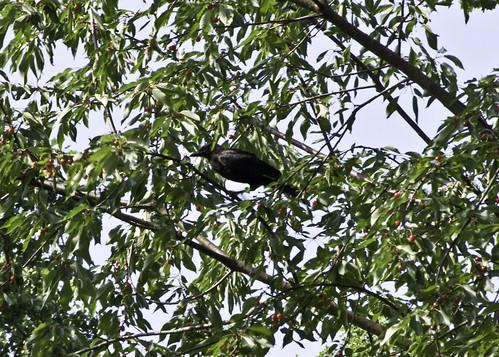 crow in cherry tree