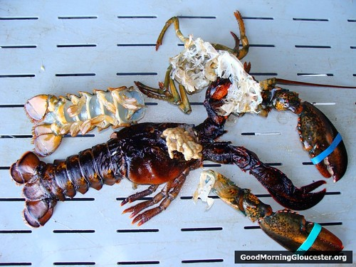 Lobster Molting Picture