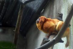 Golden Lion Tamarin / Mico-Leao-Dourado