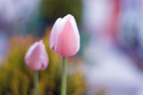 single tulip, yalnız lale, istanbul, pentax k10d