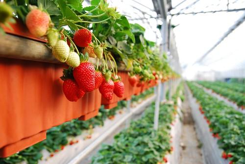玉磬聲響 入雲霄: 內湖碧山巖採草莓