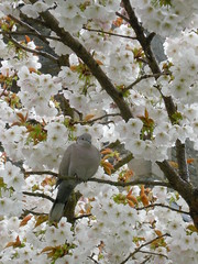 Dove in an apple tree