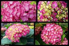 hortensia / hydrangea