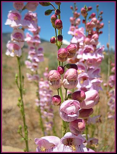 Balloon Flower (Penstemon palmeri)