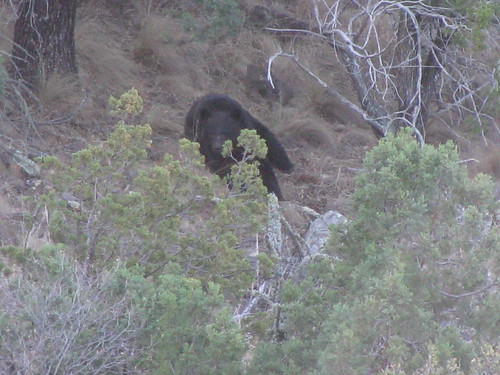 An adult black bear ferociously eats berries near the Laguna Meadow and Colima Trail junction