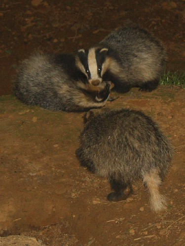 Three badger cubs playing