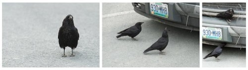 Northwestern Crows