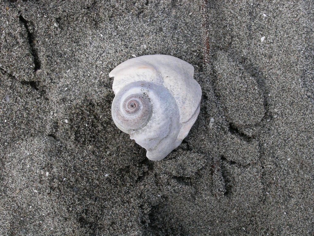 Moon snail shell (partial)