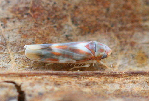 Graphocephala coccinea, Red-banded Leafhopper