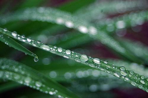 Raindrops on Stella d'oro Lillies