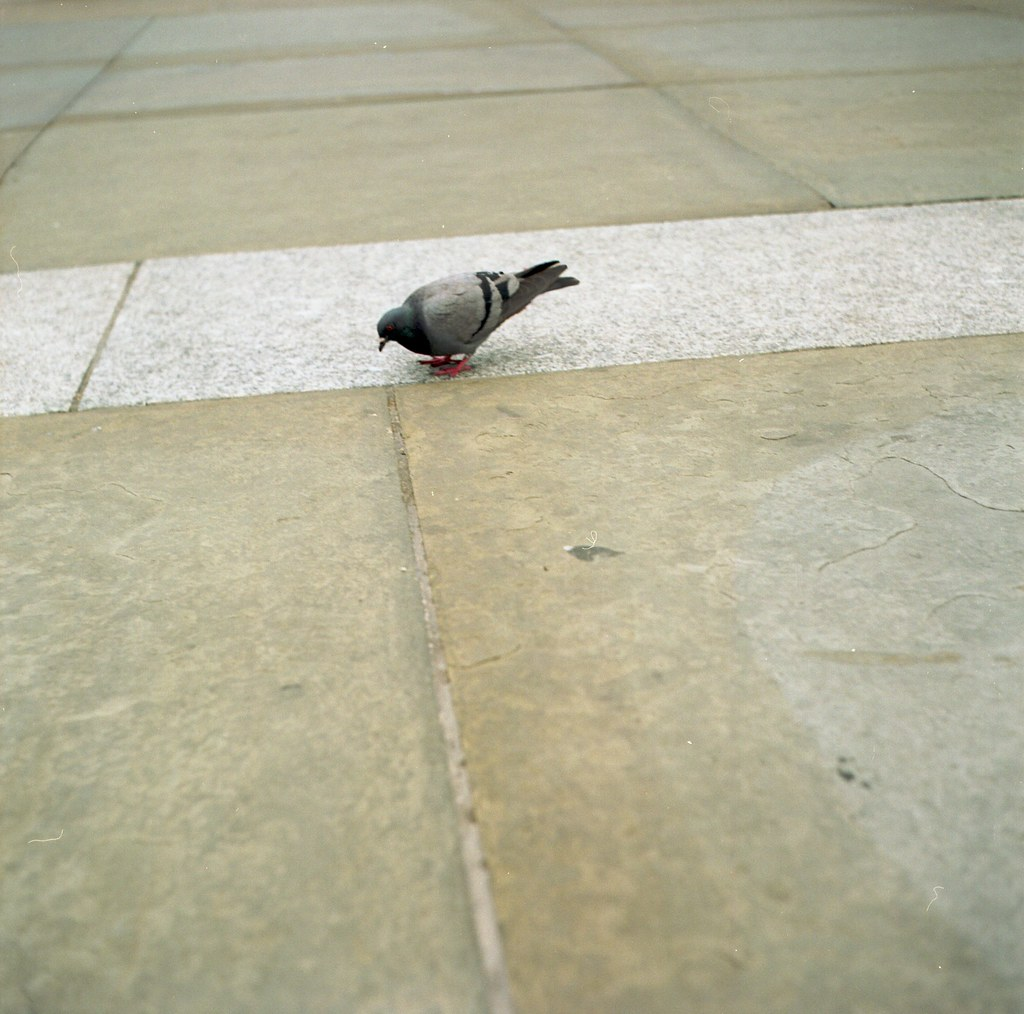 pigeon on pavement
