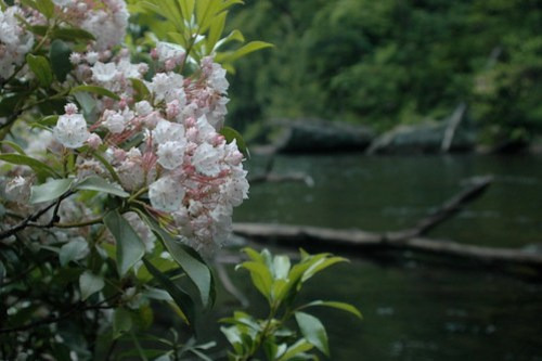 Streamside Mountain Laurel