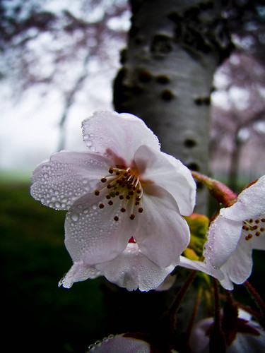 March 2009 - Misty Cherry Flower