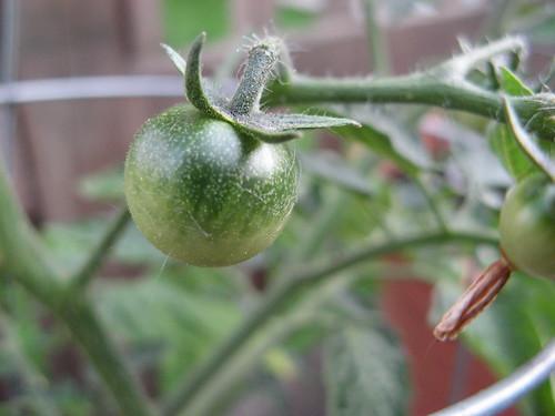 A teeny tiny tomato!