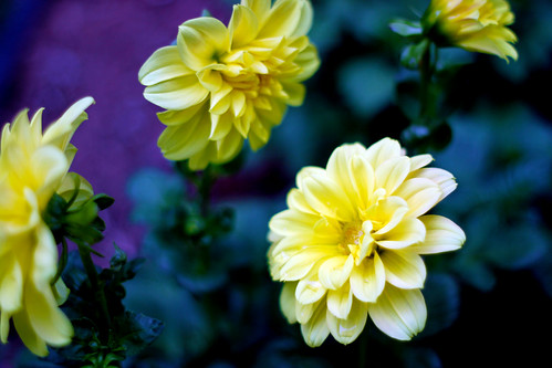 First-Dahlia-Blooms