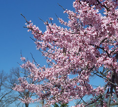 purple flowering tree.jpg