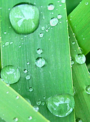 .. of home. Water droplets on grass leaves, up close.