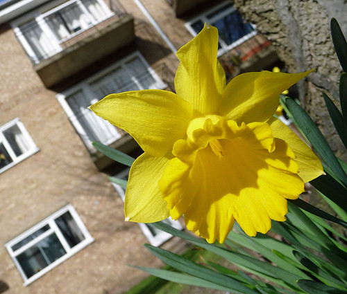 Spring flowers daffodil at an angle