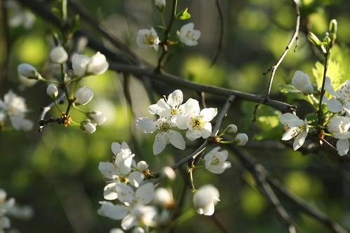 Image: prunus blossom