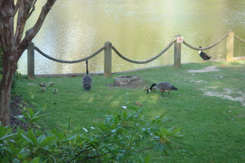 Canada Geese & Pond