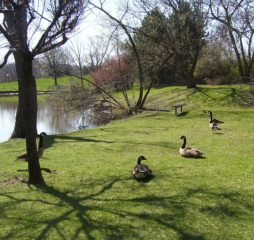 GEESE PARADISE