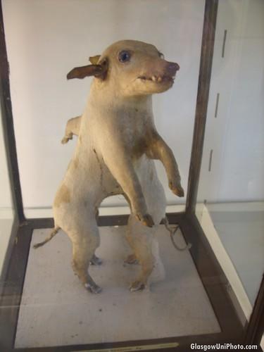 Deformed Boar at the Hunterian Museum