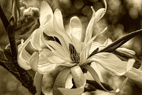 Star Magnolia—in sepia