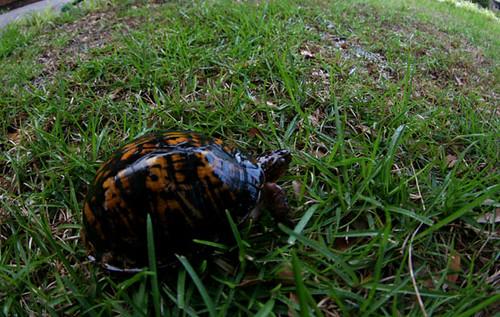 turtle yard