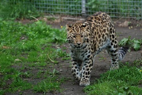 Amurleopard im Zoo Tallinn