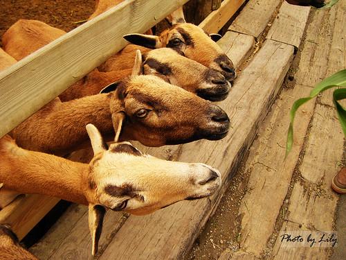 一看到牧草羊兒們都圍過來了!