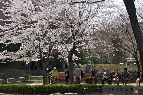 Cherry blossom and old men