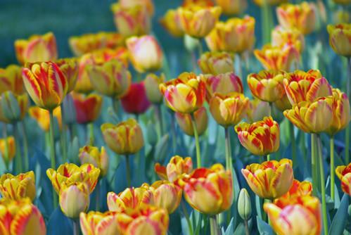 yellow-red tulips, Istanbul tulip festival 2009, Istanbul lale festivalinden sarı-kırmızı laleler, Pentax K10d