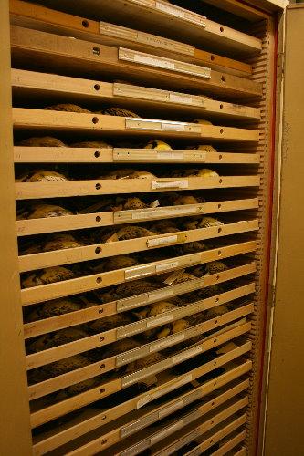 Meadowlark skins at Royal Ontario Museum