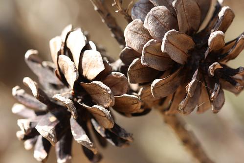 Pine Cone Pair
