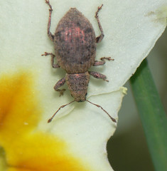 Copper-coloured weevil (Sciaphilus asperatus)